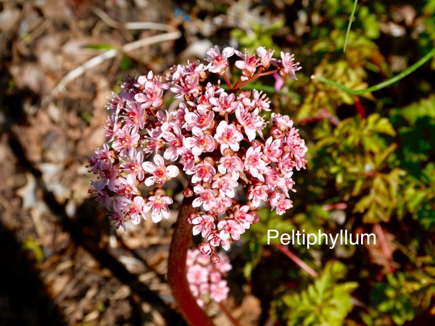 Peltiphyllum