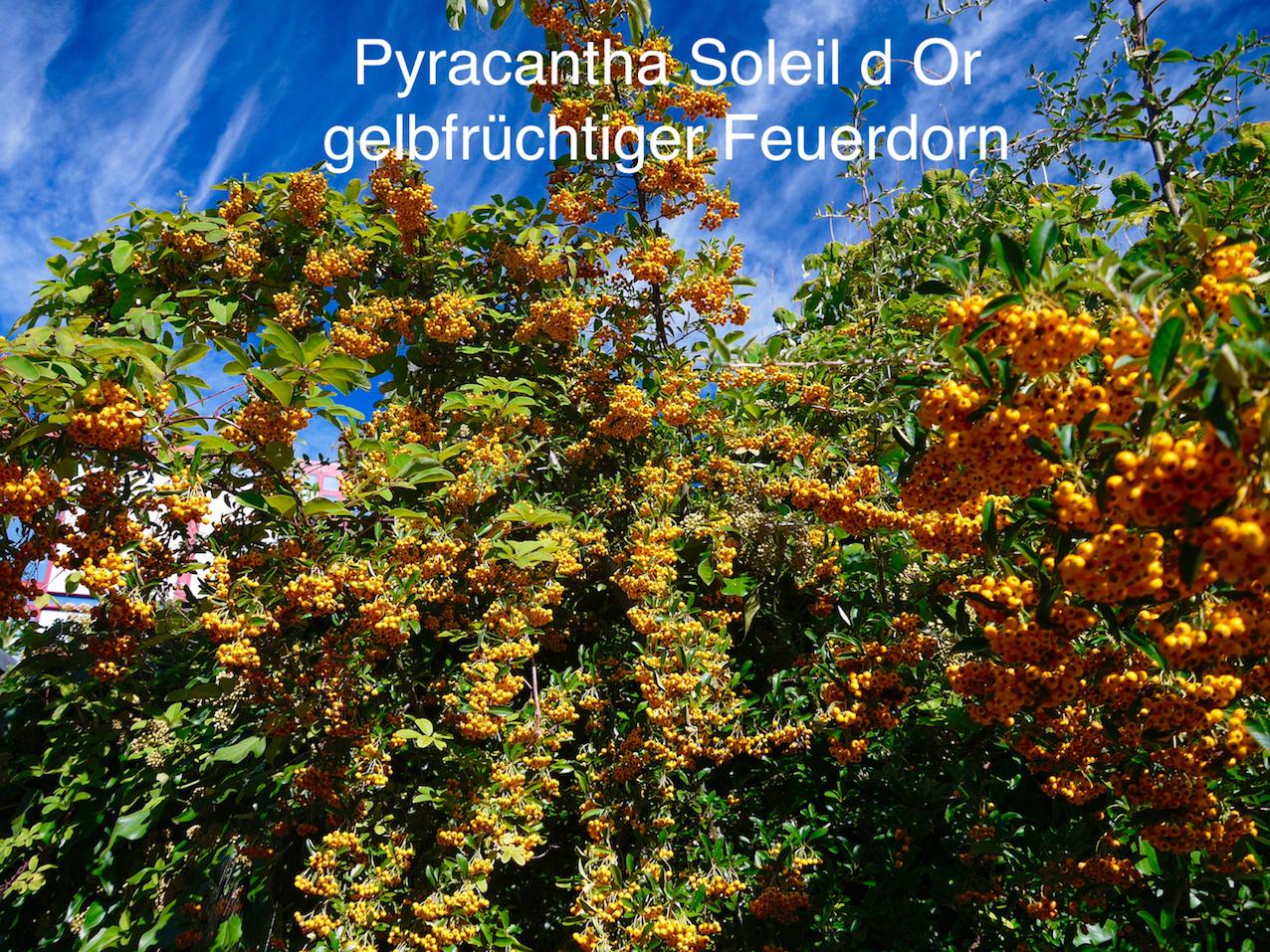 pyracantha-soleil-d-or