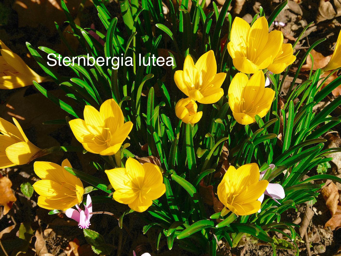 sternbergia