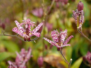 Tricyrtis hirta, Krötenlilie blüht spät und prächtig